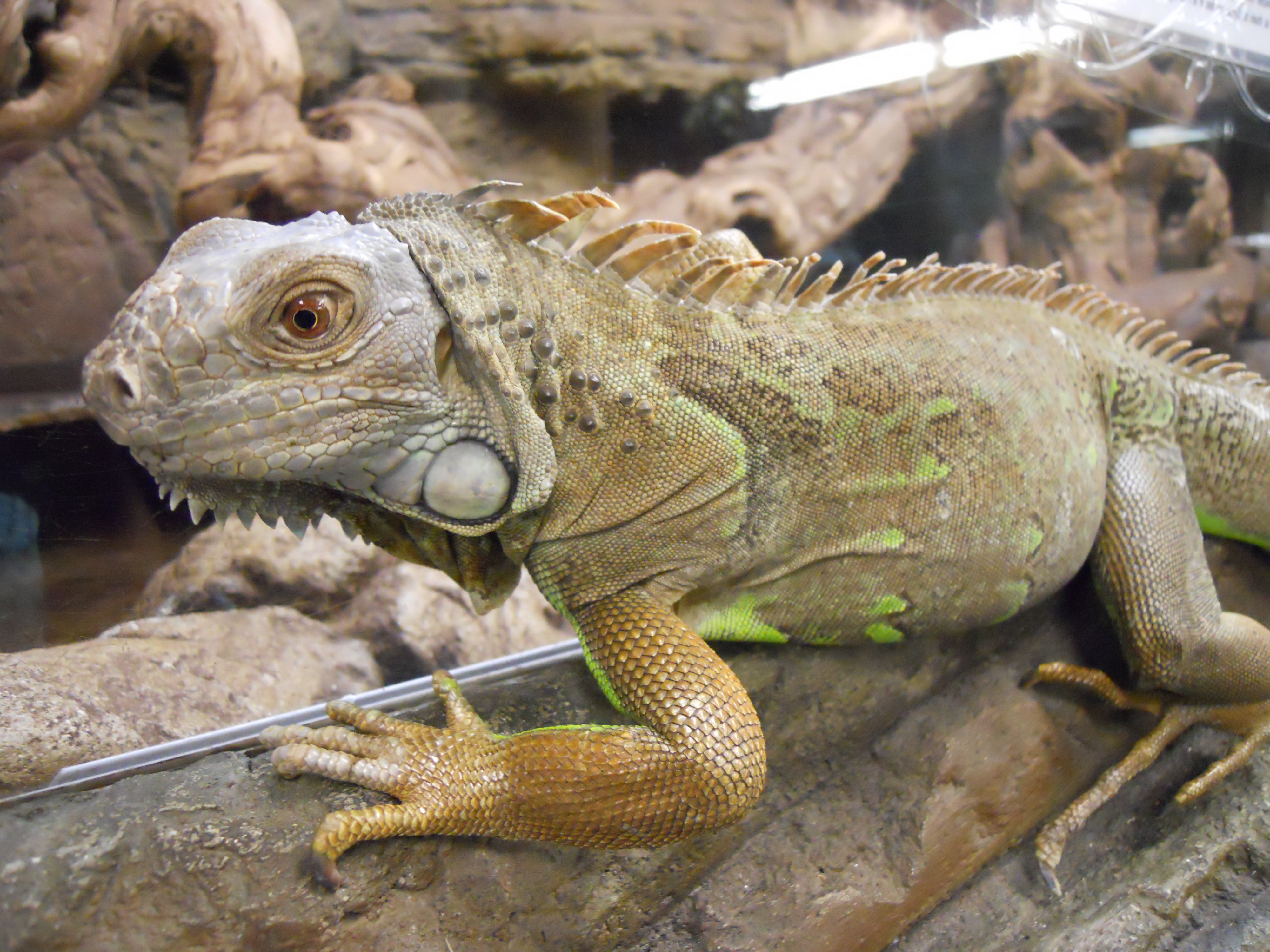 mom u2013 lizard wrangler phoebebirdink